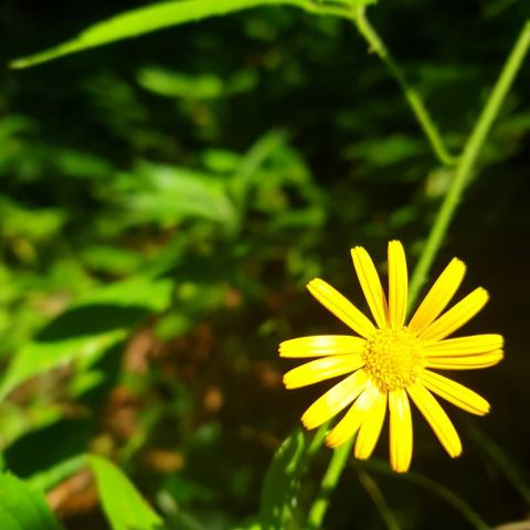 Arnica montana - Free Pictures Download