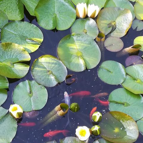 Beautiful fish in the pond