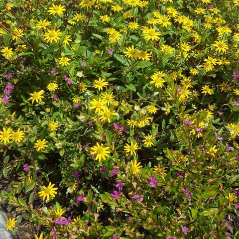 Colorful yellow and purple daisybush flowers closeup