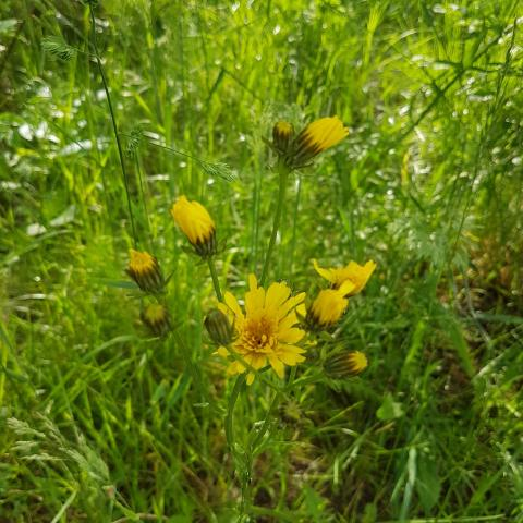 Dandelion - From root to flower, dandelion are highly nutritious plants, loaded with vitamins, minerals and fiber.