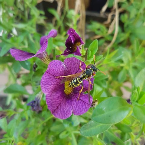 European Common Wasp (Vespula Vulgaris) - Free Photos Download