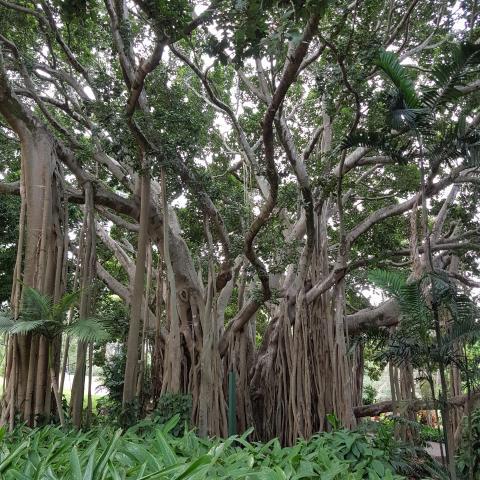 Amazing trees - Ficus benghalensis - Brisbane City Botanic Gardens