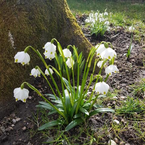 Galanthus nivalis 'Flore Pleno' (Low House Wood, Armathwaite) - Free Download