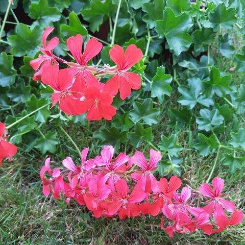 Pelargonium Peltatum - free photos