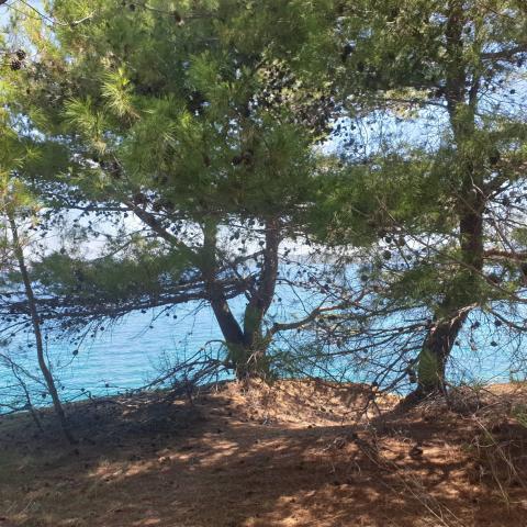 Pine Trees, Beach And Sea