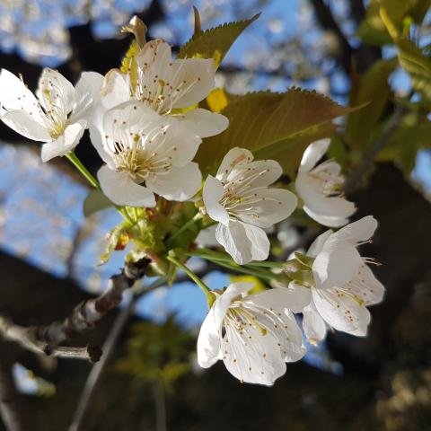 Spring cherry blossom, spring background