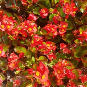 'SunPatiens® Red Colours'