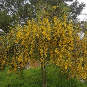 Acacia Dealbata Mimosa, free photo