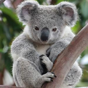 Australian animals: the koala