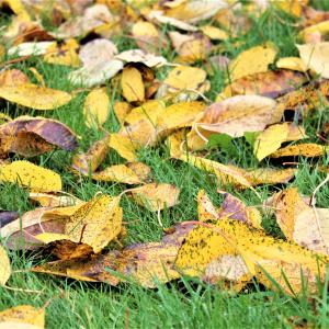 What hormone causes leaves to fall?