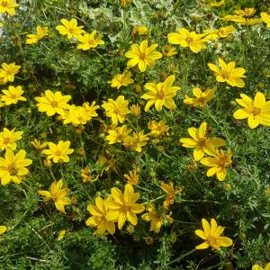Bed of small yellow daisies
