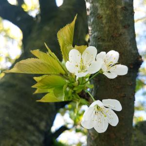 Cherry Blossom - Free pictures