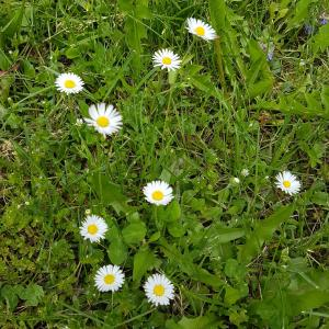 common daisy flowers on grass field - Free pictures