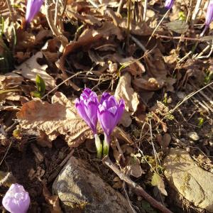 Crocus vernus (Spring Crocus, Giant Crocus) is a species in Family Iridaceae, native to the Alps, the Pyrenees, and the Balkans.