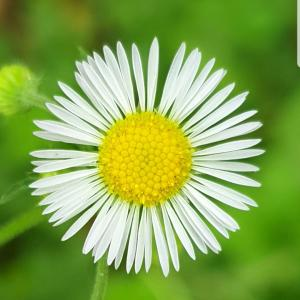 White Daisy - Free Download