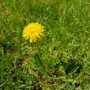 Dandelion, medicine plant with yellow flowers