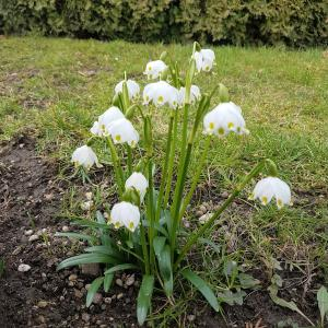 Bolly Bulbs - Single Snowdrops - Free Download