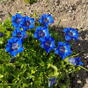 Gentiana asclepiadea - Free Photos and Images