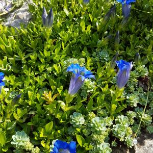 Blue willow gentian, (Gentiana asclepiadea) - Download free images