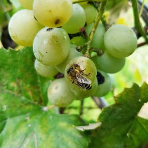 A Wasp Eating Grape