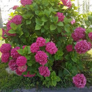 Hydrangea Sibilla - Large Pink Mophead Hydrangea