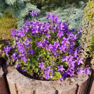 Annual Lobelia Plant