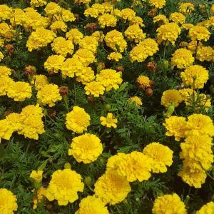Marigold yellow flower blooming