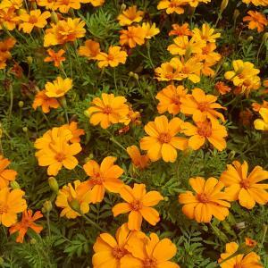 Mexican marigold (Tagetes erecta)