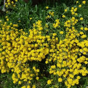 Ornamental shrub with yellow flower -  Garden Design
