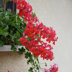 Pelargonium Peltatum (Ivy geranium)