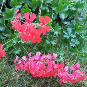 Pelargonium Peltatum - free photos