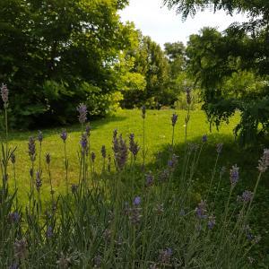 Fine Lavender/ Lavandula officinalis