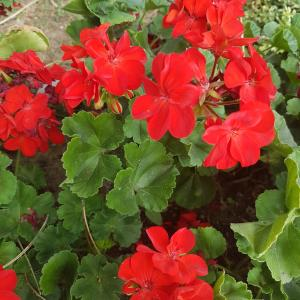 SunPatiens Compact Red - Free Download