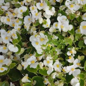 SunPatiens 'White' -