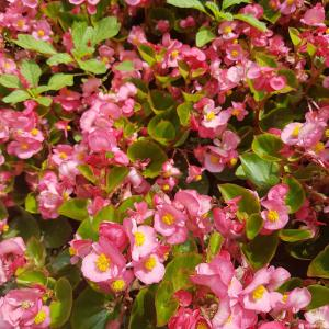 'SunPatiens® pink Colours'