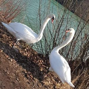 Free photo Swans download