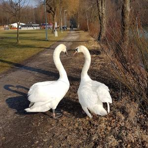 Swans - Elegant birds with white long necks