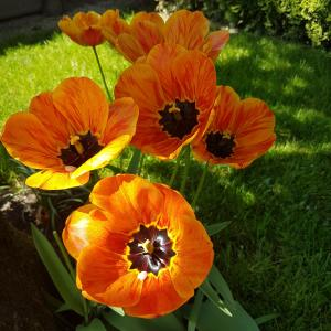 Tulipa – Tulips, a symbol of springs,  Free pictures