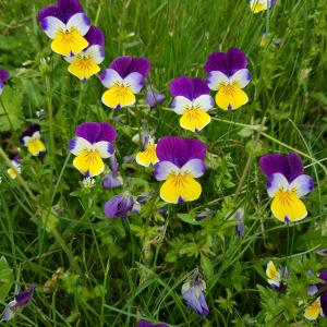 Viola x wittrockiana 'Cool Wave' - Download free images