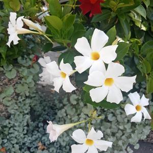 White flowers Plumeria, Champa (White) - Plant