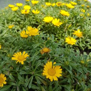 Free images - Yellow daisies